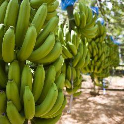 Banana Organic Fair Trade
